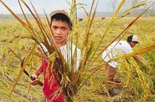 2017年菲律宾主要粮食作物丰收在即
