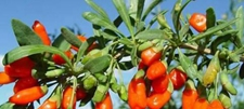 易地搬迁村柏树山新村特色种植种枸杞亩产2万村民走上致富路