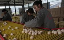 怎样降低养鸡场鸡蛋包装破损率?