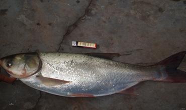 鲢鱼的生活习性是怎样的?鲢鱼的生活习性介绍