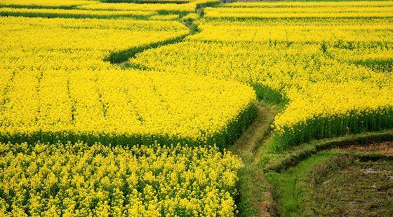 湖南汨罗白水镇:村民种万亩油菜花 推动乡村旅游发展