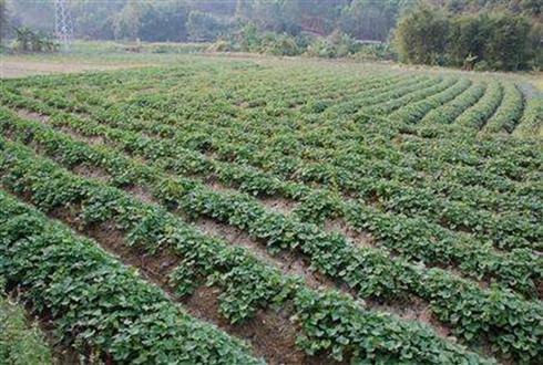 """益阳安化:红薯种植成致富金""""疙瘩"""""""