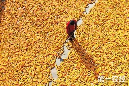 今年玉米要打翻身仗了?价格一涨再涨势不可挡