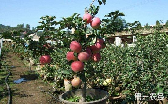 盆景怎么种植 苹果树盆景的制作与养护
