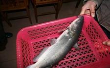 剑骨鱼贵不贵?剑骨鱼多少钱一斤?