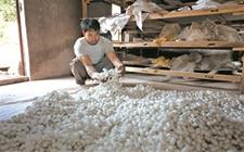 """普洱镇沅:蚕桑成""""六培植""""重点发展产业 目前产值达200多万"""
