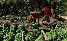 菲律宾香蕉产业缓慢复苏 坦桑尼亚盼扩大肉类出口