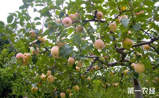 苹果树种植:提高苹果树苗栽植成活率的方法介绍!
