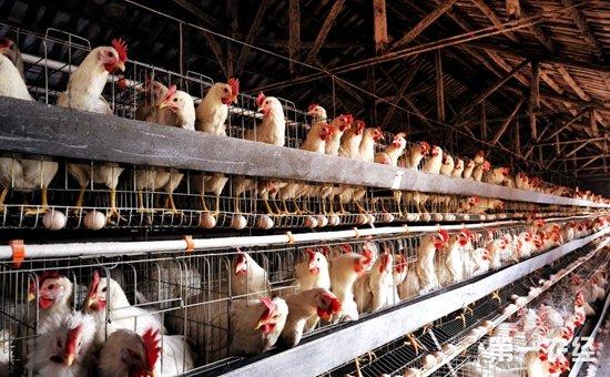 建设现代化养鸡场的必要性是什么?