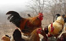 柴鸡和肉鸡营养价值一样吗?柴鸡比肉鸡更有营养吗?