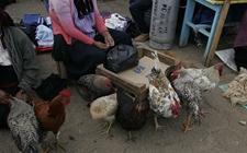 市场上怎样选鸡好?市场活鸡的选择技巧