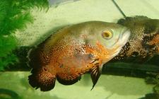 地图鱼吃什么饲料好?地图鱼吃什么长得快?