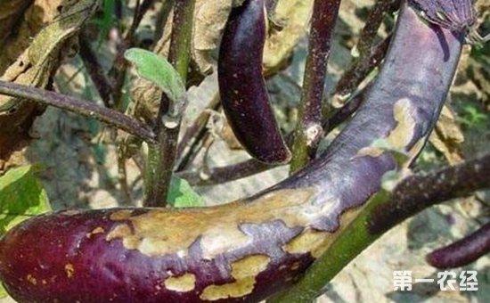 茄子染上绵疫病怎么办?茄子绵疫病的防治方法