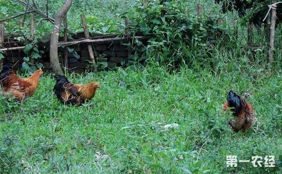 夏季怎样科学合理饲喂鸡群?