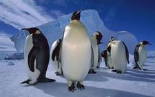 <b>企鹅吃什么食物?企鹅的栖息环境是怎样的?</b>