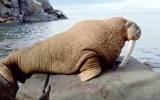 海象的生活习性是怎样的?海象的生活习性介绍