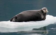 <b>海豹的生活习性是怎样的?海豹的生活习性介绍</b>
