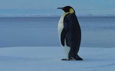 <b>企鹅是鸟类吗?企鹅为什么不会飞?</b>