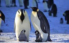 帝企鹅是谁负责孵蛋?帝企鹅吃什么食物?