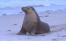 <b>海狮的品种有哪些?海狮品种图片大全</b>