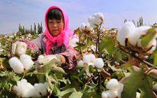 新疆棉花是全国棉花实现有效充分供应的关键保障