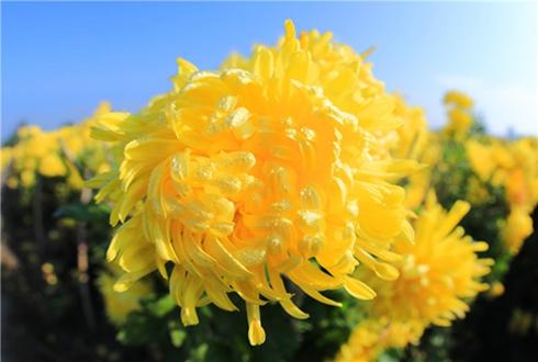 陆社旗:辐射花农种植菊花 带动村民增收致富