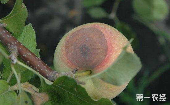 苹果染上炭疽病怎么办?苹果炭疽病的危害与防治