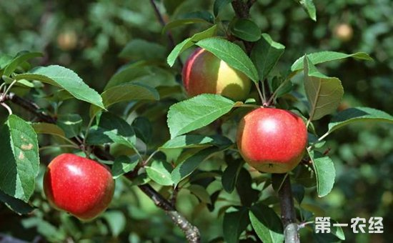 果树种植如何提高成活率?提高果树栽植成活率的方法