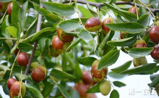 枣树种植该如何提高坐果率?提高枣树坐果率的方法介绍
