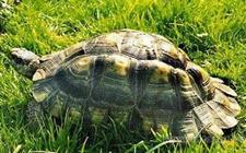 缘翘陆龟行情