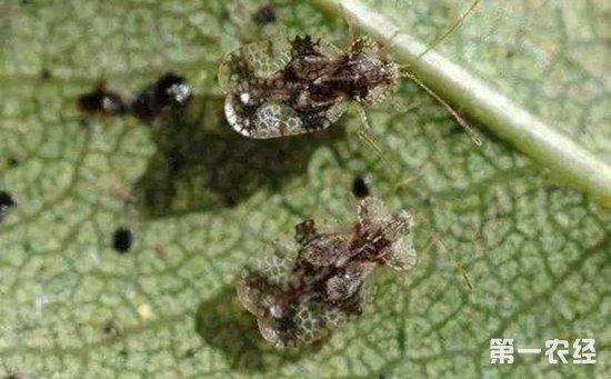 桃树梨网蝽怎么处理?桃树梨网蝽的危害与防治