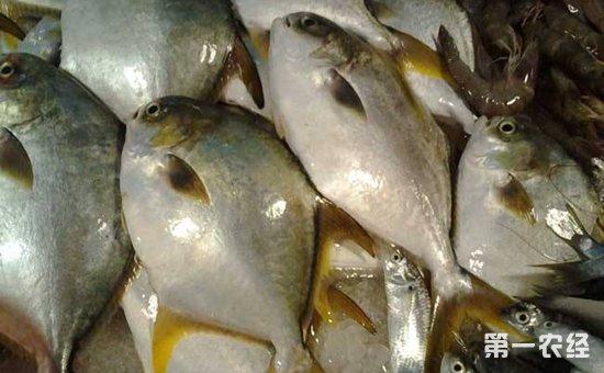 鲳鱼吃什么食物?鲳鱼的养殖方法
