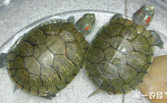 小乌龟怎么养?小乌龟吃什么?