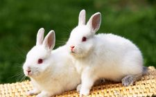 <b>肉兔怎么养好?肉兔养殖方法</b>