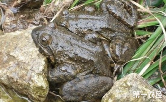 石蛙烂皮病有哪些症状?怎样防治石蛙烂皮病?