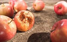 食用局部腐烂的苹果会致癌?专家:能产生毒性但不确定致癌