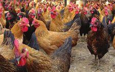 秋冬时节怎样高效管理散养蛋鸡?