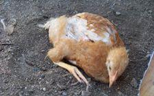 小鸡怎样洗澡?小鸡能用水洗澡吗?
