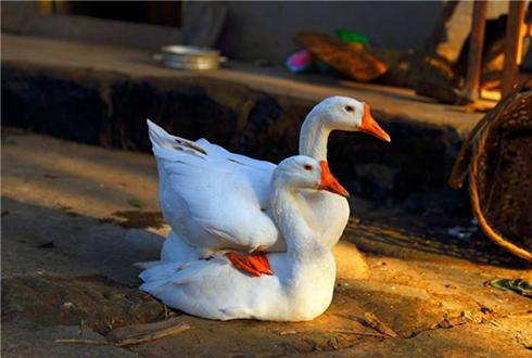 李福齐:白鹅养殖带来致富希望