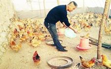 铁岭西丰:皇太鸡养殖成农户收益保障
