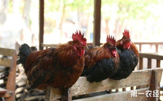 2017年12月4日最新鸡蛋价格行情 淘汰鸡价格行情 白羽肉毛鸡价格行情