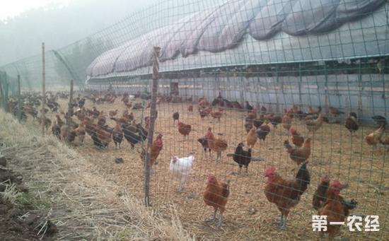 田地散养鸡舍怎么建设好?