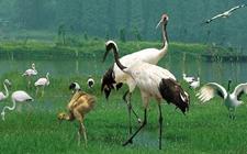 丹顶鹤是怎样繁殖的?丹顶鹤的繁殖方式介绍