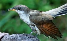 <b>杜鹃鸟是一种什么样的鸟?关于杜鹃鸟的资料介绍</b>