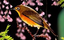 百灵鸟是一种什么样的鸟?百灵鸟的形态特征介绍