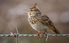 <b>百灵鸟是国家保护动物吗?百灵鸟的繁殖方式有哪些呢?</b>