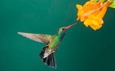 蜂鸟是鸟类吗?蜂鸟吃什么食物?