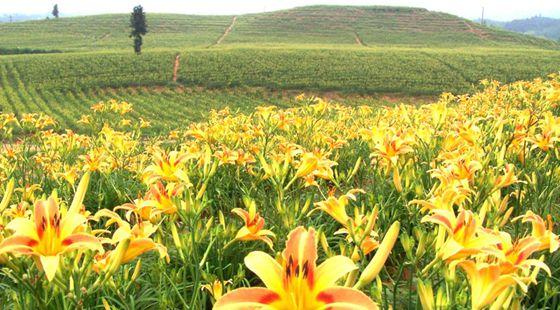 山西大同市:黄花产业成农民脱贫链