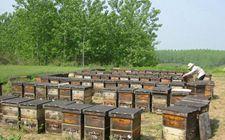 新疆特克斯县:蜂蜜产业为农牧民开辟了脱贫增收新渠道
