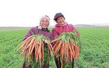 水果胡萝卜受消费者青睐 山东济南种植近千亩
